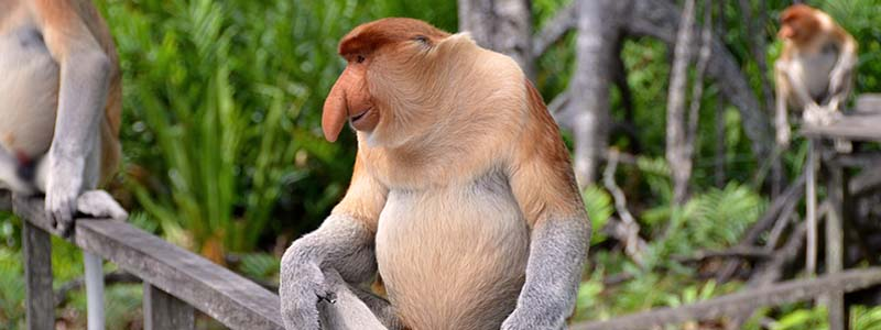borneo monkeys pic